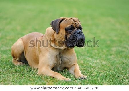 Englisch Mastiff Hund Park Natur Stock foto © OleksandrO