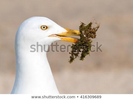 Martı yosun yuva çim deniz Stok fotoğraf © latent