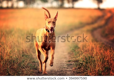 dog breed Pharaoh hound standing  Stock photo © goroshnikova