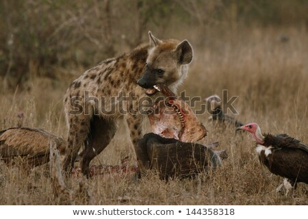 Spotted hyena on a carcass with Vultures. Stock photo © simoneeman