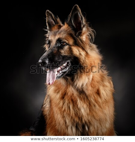 Stock photo: German shepherd sitting in a dark studio