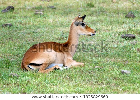 Impala laying in the grass. Stock photo © simoneeman