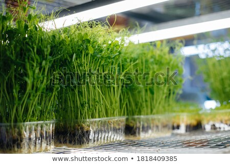 Pea Shoots stock photo © naffarts