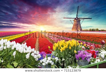 Dutch landscape with red tulips Stock photo © ivonnewierink