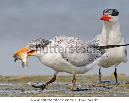 Caspian tern (Hydroprogne caspia) Stock photo © dirkr