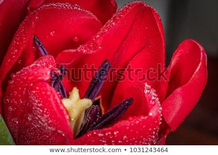 Macro close up shot of yellow tulip Stock photo © vapi