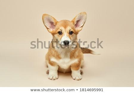 Cute piccolo cane pastore autunno Foto d'archivio © Johny87