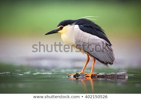 Black-crowned night heron (Nycticorax nycticorax) Stock photo © dirkr
