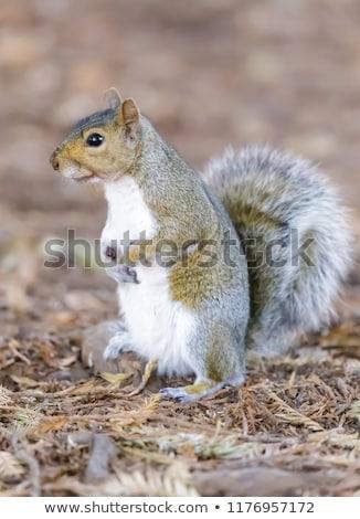 Eastern Grey Squirrel showing its white underside. Stock photo © yhelfman