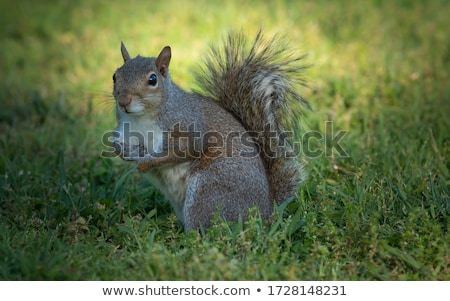 cute grey squirrel eating nut on lawn Stock photo © taviphoto