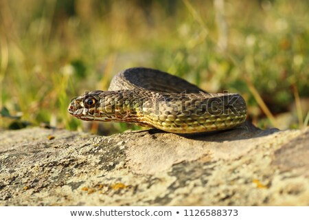 eastern montpellier snake in natural habitat Stock photo © taviphoto