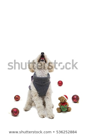 cute little white poodle in dog clothes with christmas balls stock photo © boggy