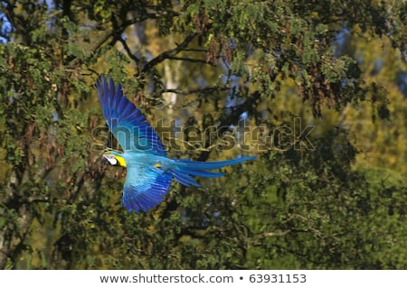 Blue and yellow Macaw in flight against the background of trees stock photo © galitskaya