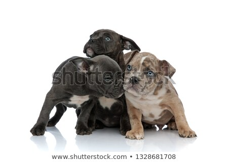 3 American bully dogs laying and standing together sniffing Stock photo © feedough