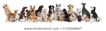 Diferente espécies cães branco família cão Foto stock © colematt
