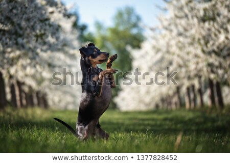 Miniature pinscher dog in the nature Stock photo © tilo