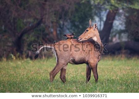 Bleu Bull asian sous-continent indien membre Photo stock © cookelma
