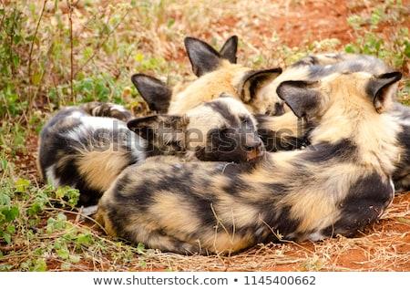 Csomag afrikai vad kutyák homok park Stock fotó © simoneeman