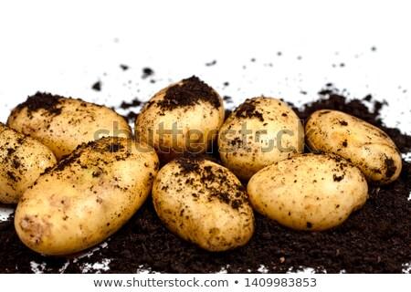Recentemente batatas solo branco fresco Foto stock © marylooo