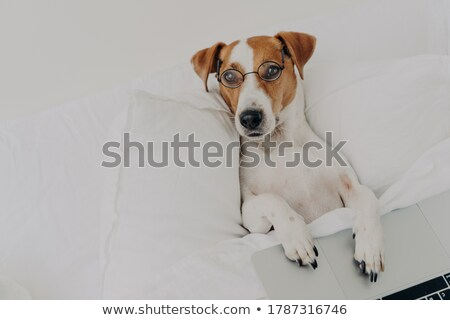 Relaxed clever jack russel terrier dog wears transparent glasses, works with laptop computer, stays  Stock photo © vkstudio