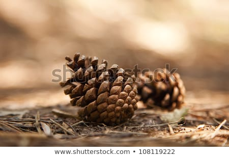 Two cones of pine Stock photo © Traven