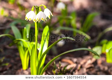 Stock photo: Beautiful delicate early spring flowers.