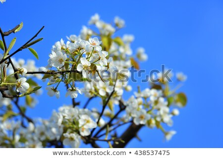 Pears with green leaf and flowers Stock photo © boroda