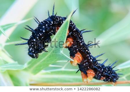Oruga pavo real mariposa hoja verde insectos Foto stock © chris2766