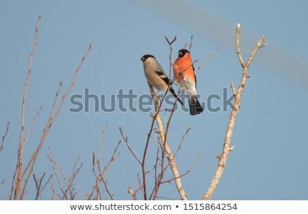 Female Bullfinch (Pyrrhula-pyrrhula) Stock photo © chris2766