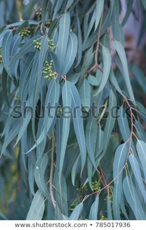 Australisch witte bloemen blauwe hemel inlander bloem Stockfoto © byjenjen
