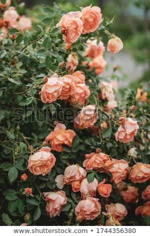 Numeroso brilhante rosa flores rosa Foto stock © suliel