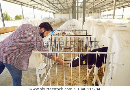 farmer feeding and stroking calf stock photo © photography33