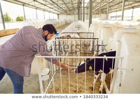 Farmer feeding and stroking calf Stock photo © photography33