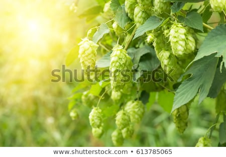 hop · veld · groeiend · hemel · patroon · landbouw - stockfoto © tepic