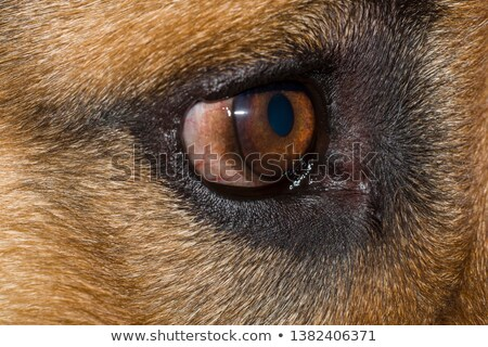 Canino glaucoma americano animal cachorro doente Foto stock © willeecole