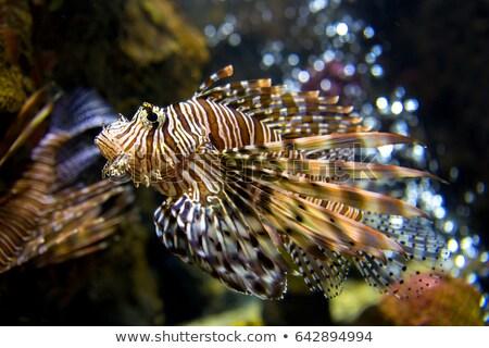 Beautiful Lionfish (Pterois) Swimming Alone in an Aquarium Stock photo © aetb