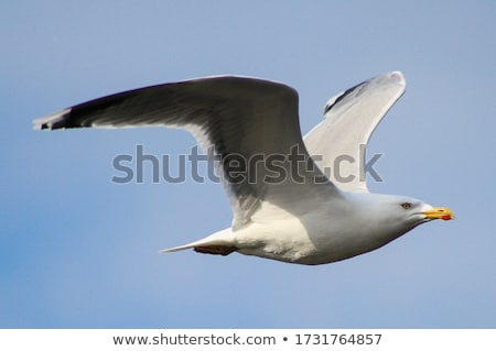 gaivota · pássaro · voador · blue · sky · ver · céu - foto stock © bradleyvdw