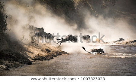 wildebeest stock photo © kitch