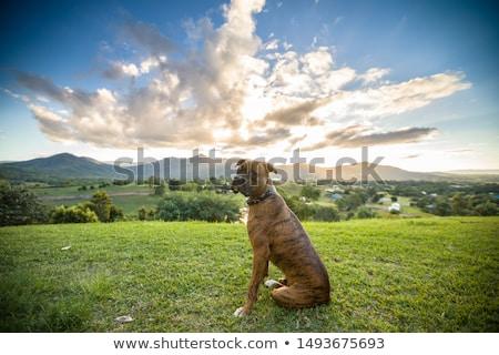 Dog angielski psa odkryty słoneczny lata dzień Zdjęcia stock © bigandt