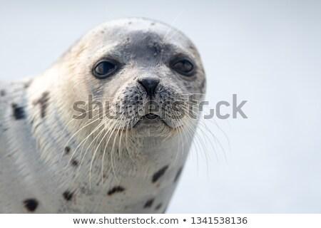 Seal Head Stock photo © tilo