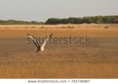 Stanley bustard (Neotis denhami) Stock photo © dirkr