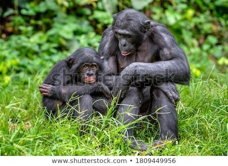 şempanze · çim · kadın · oturma · bakıyor · kamera - stok fotoğraf © michaklootwijk