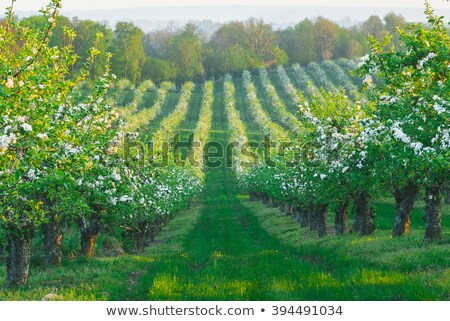 printemps · verger · de · pommiers · rangée · floraison · pomme · arbres - photo stock © arenacreative