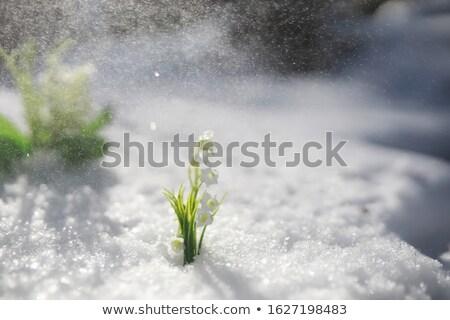 első · tavasz · kikerics · virágok · tájkép · napos - stock fotó © kotenko