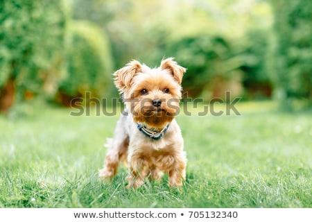 Йоркшир · терьер · сидят · студию · собака - Сток-фото © vauvau