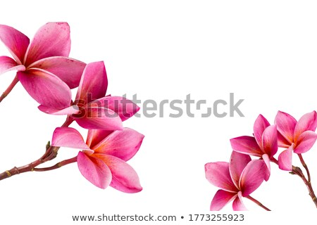 Pink Plumeria Stock photo © allihays