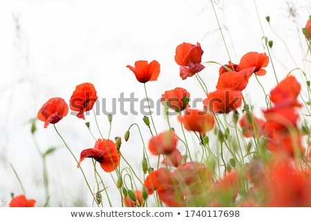 Single flower of wild red poppy on blue sky background with focus on flower Stock photo © fogen