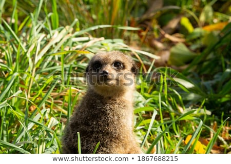 Slender mongoose standing in the sand. Stock photo © simoneeman