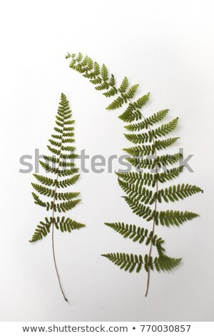 Dead fern leaf  Stock photo © homydesign