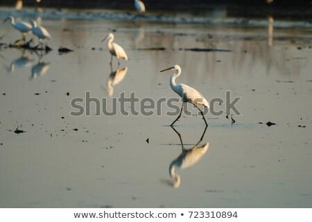 Egret And Reflection stock photo © azamshah72